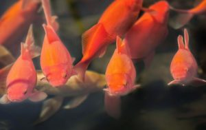 goldfish swimming in pond