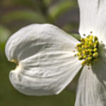 white dogwood blossom on a green background