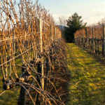 grape vines in rows