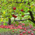 apple_trees-558