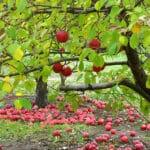 apple_trees-558