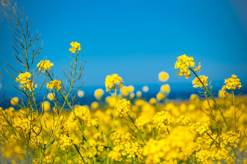A field of bright yellow flowers with a vibrant blue sky in the background.